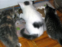 Three little kittens eating