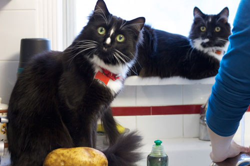 my current two boys, Buckingham (Bucky) and Stanley C. Panther (Stanley) helping out in the kitchen