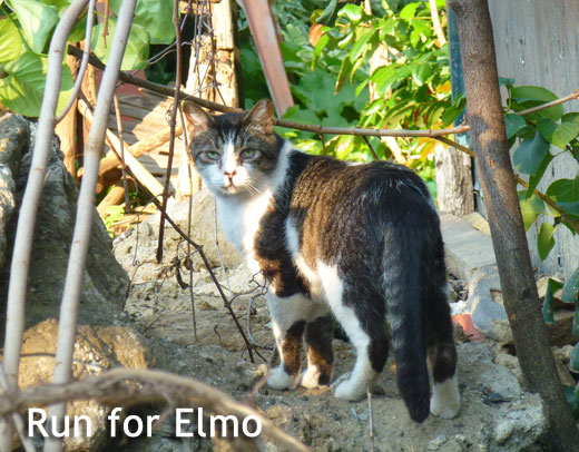 Elmo - Annex cat rescue